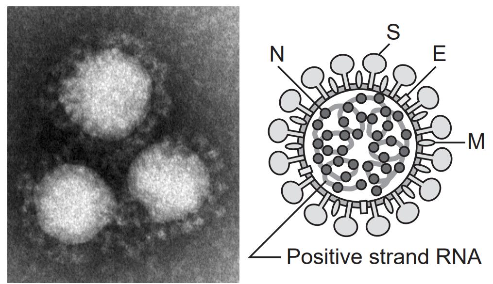 コロナウイルスの画像